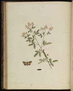 Plate 84 from The natural history of the rarer lepidopterous insects of Georgia. Including their systematic characters, the particulars of their several metamorphoses, and the plants on which they feed. Collected from the observation of Mr. John Abbot, many years resid · Smith, James Edward, 1759-1828 · 1797 · Albert and Shirley Small Special Collections Library, University of Virginia.