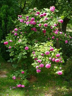 Mme. Isaac Pereire, Natural form http://www.roses.webhost.pl/wp-content/gallery/7-gubala/mme-isaac-p-gubala.jpg