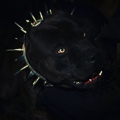 The King 👑🖤 #Prague #beauty #beast #blackout #pitbull Funny Animal Memes, Funny Animals, Cute Animals, Bully Pitbull, Pitbull Terrier, Pit Dog, Cute Monkey, Dog Stories, Dog Id