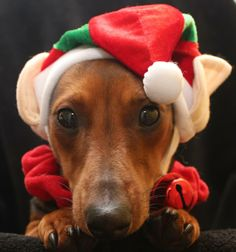 gorgeous lilttle dachshund elf named Ellie. xox - photo via I love Dachshunds fb page