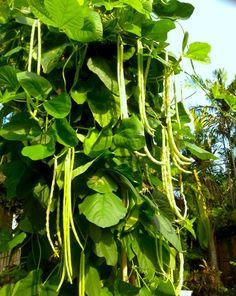 Yard-long beans, also called asparagus beans.