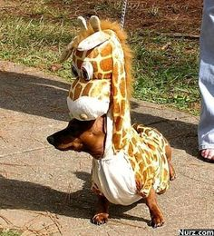 my 2 favorite things: weener dogs and miniature giraffes!!!!!! <3