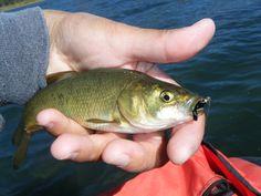 Small Spooner White Fish