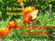 TSG: Old School Marigolds: A Virtual Workhorse For The Diverse Gardener