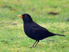Blackbird - First birds out and about every morning ! Garden Birds, Backyard Birds, Small Birds, Little Birds, Clay Birds, British Garden, Migratory Birds, Bird Drawings, Robins