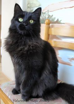 Black beauty it seems to be my lovely S. Fluffy Black Cat, Fluffy Cat, Black Cats, Turkish Angora Cat, Angora Cats, Black Mainecoon Cat, Black Cat Breeds, Black Cat Aesthetic, Cat Background