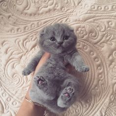 adorable gray kitten