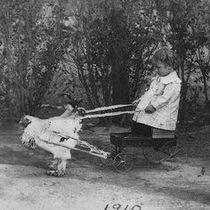 Benjie Bonham sent in this wonderful shot of his grandfather Josh being pulled in his wagon by a Brahma chicken in Joshua, Texas, 1910.