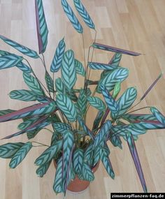 Ctenanthe (Ctenanthe setosa) | Calathea pflege, Pflanzen ...