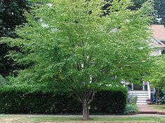 Katsura Tree. Cercidiphyllum japonicum.