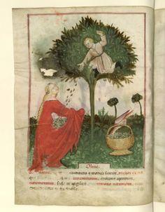 Nouvelle acquisition latine 1673, fol. 14v, Récolte des olives. Tacuinum sanitatis, Milano or Pavie (Italy), 1390-1400.