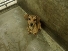 URGENT!!! PUPPY***Meet 14-0011773 a Petfinder adoptable Chihuahua Mix Dog | Odessa, TX | Available on 5.20.14 for $51 cash or check