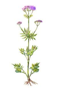 Valerian uses and information