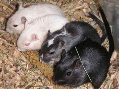 """""""EEUU: Científicos descubren que los ratones pueden cantar"""". RPP. 16 OCT 2012."""