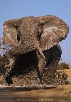 African elephant bull charging, Loxodonta africana, Chobe National Park, Botswana by Frans Lanting