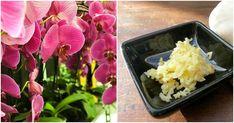 Domácí hnojivo pro kvetoucí orchideje | Chalupáři-Zahrádkáři