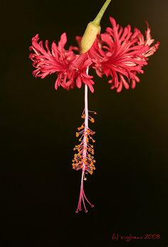 Hibiscus Schizopetalus (a.a Sarah) Hibiscus Schizopetalus, Aperture Settings, Planting Flowers, Dandelion, Bloom, Gardening, Painting, Gardens, Flowers