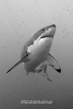 sea life - sea life photography - sea life underwater - sea life artwork - sea life watercolor sea l Shark Pictures, Shark Photos, Underwater Creatures, Ocean Creatures, Shark Drawing, Shark Bait, Shark Tattoos, Great White Shark, Shark Week