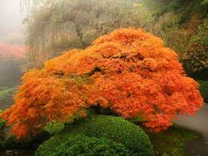 Portland, Oregon Japanese Garden - A bright orange-red lace-leaf maple - 40 Incredible Photos of Breathtaking Places