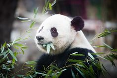 Panda Bao Bao Leaving National Zoo for China