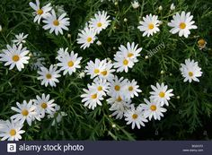 paris daisies - Google Search