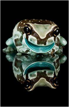 Milk frog, Smile by Trevor Owen. °