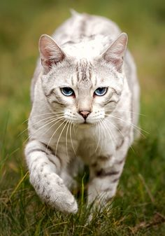 Snow Bengal stalking