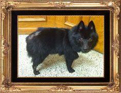 Petfinder  Adoptable | Dog | Schipperke | Dallas Kayla's gorgeous coat has grown back