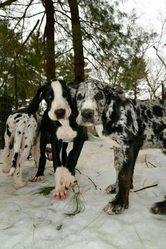 Great Dane Puppies being trained as Balance Assistance Service Dogs at the Service Dog Project. I Love Dogs, Cute Dogs, Big Dogs, Adorable Puppies, Beautiful Dogs, Animals Beautiful, Australian Shepherd Husky, Cavalier King Charles Spaniel, Dane Puppies