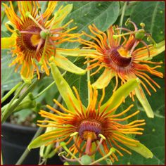 Passiflora - Sunburst  Just really cool looking!