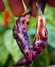 Pink Tiger Pepper Seeds - VERY RARE - Beautiful Purple & Pink Hot Pepper chili , Non-GMO seeds vegetables plant pot 100 pcs/bag Chilli Seeds, Pepper Seeds, Rare Plants, Exotic Plants, Chilli Plant, Chilli Chilli, Chile Picante, Types Of Peppers, Arrows