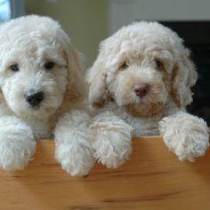 Labradoodles I want one soooo much!!!!