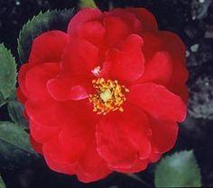 Exploring Explorer roses - landscape ontario.com Green for Life Shrub Roses, Shrubs, Ontario, Landscape Design, Red Roses, Exploring, Green, Plants, Life