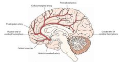 Major branches of the anterior cerebral artery (viewed from the medial side). The branches include the orbital branches, the frontopolar branches, the callosomarginal artery, and the pericallosal artery. The rostral and caudal ends of the cerebral hemisphere are shown for orientation purposes.