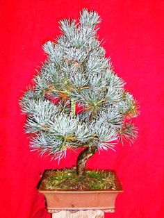 Pinus parv. Mädchenkiefer aus Japan
