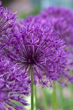 Allium Flower √ Top 35 Most Beautiful Flowers In The World Purple Rain, Perennial Bulbs, Amazing Flowers, Flowers, Pretty Flowers, Planting Bulbs, Plants, Most Beautiful Flowers, Planting Flowers