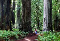 Grizzly Creek Redwoods State Park. I worked here as a Ranger and Loved it. I just found out that it was the setting for Endor in the Star Wars Movies.