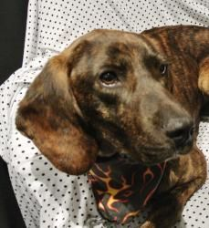 Jack Black is an adoptable Plott Hound Dog in Marble, NC. Jack is about 1 1/2 years old and is just a sweet laid back boy. Fosters have had him about 2 weeks and say he is a lovely boy. Great with other dogs and cats and is housetrained....Jack is looking for a fireplace and someone to love him!