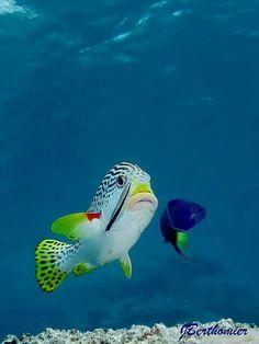 flag of Ocean Simply breathtaking - sea life Underwater Creatures, Underwater Life, Ocean Creatures, Colorful Fish, Tropical Fish, Fauna Marina, Beautiful Sea Creatures, Life Under The Sea, Salt Water Fish