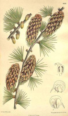 6906 Larix griffithii Hook.f. / Curtis's Botanical Magazine, vol. 134 [ser. 4, vol. 4]: t. 8181 (1908) [M. Smith]