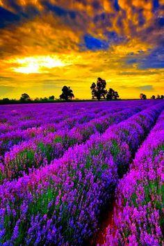 Lavender fields.  Provence France