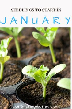 There are many seedlings you start. Learn which ones you can plant in January in zones What seedlings can you start in January? This post is focused primary on those who live in Zones 5 & With a little creativity you can start these plants. Garden Care, Garden Beds, Garden Plants, Growing Plants, Growing Vegetables, Vegetables List, Growing Seeds, Veggies, Gardening For Beginners