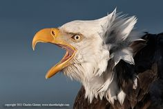 Bald Eagle screaming by Charles Glatzer, via 500px