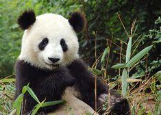 ¿Sabes como es un panda de pequeñajo? Pués son tan monos. Aunque también los hay así. Bueno... también tienen su gusto mono. Son muy pequ...