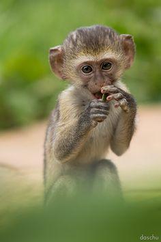 Baby Vervet Monkey by DaSchu on DeviantArt Primates, Mammals, Beautiful Creatures, Animals Beautiful, New World Monkey, Monkey Puppet, Baby Animals, Cute Animals, Types Of Monkeys