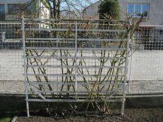 Péče o růže - pnoucí růže Sympatie po řezu Outdoor Structures, Lawn And Garden