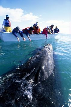 Whale Watching in Laguna San Ignacio, Baja California Sur, Mexico.