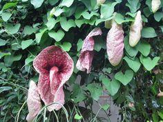 Aristolochia x kewensis – Duitse pijp of pijpbloem, komt van nature voor in de tropen en subtropen, de bloemen kunnen tot wel 30-40 cm groot worden, deze staat in de kas. Er zijn soorten voor de 'koude grond'