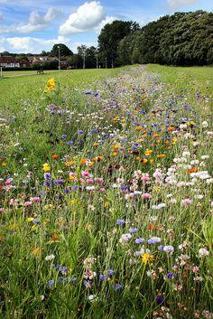 English meadow wildflowers, Beverley Meadow, Kent, England