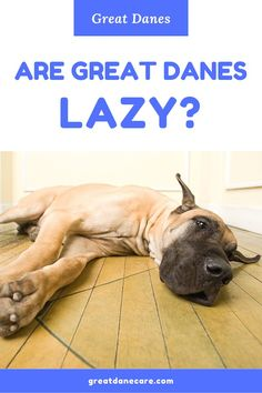 While their puppy selves may possess more energy, adult Great Danes are notoriously lazy dogs. Sleeping hours per day isn't uncommon for these giants! 1930s Cartoons, Cartoon Profile Pics, Great Dane Puppy, Aggressive Dog, Large Dog Breeds, Aesthetic Dark, Aesthetic Vintage, Vintage Cartoon, Large Animals